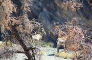 two bighorn sheep as seen through brush, Silver Canyon CA